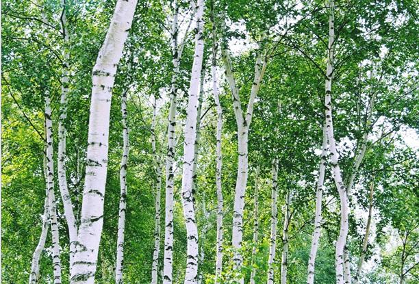 白樺樹液(ホワイトバーチウウォーター)が秘める健康・美肌効果とは
