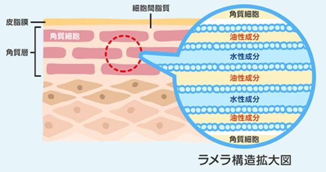 細胞間脂質とセラミドの保湿効果 | ぷろろのオーガニックライフ
