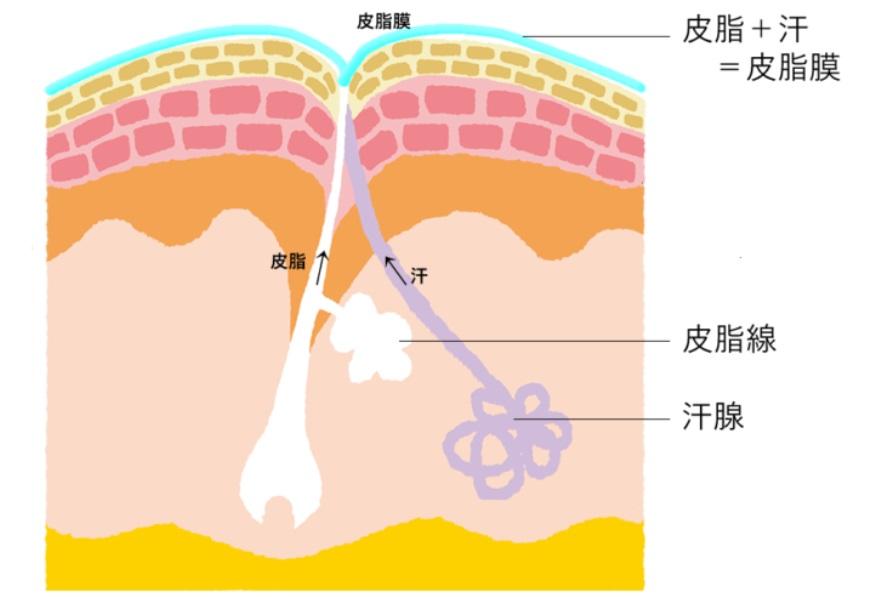 皮脂と皮脂膜 イラスト