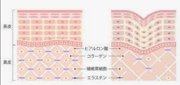 真皮の構造
